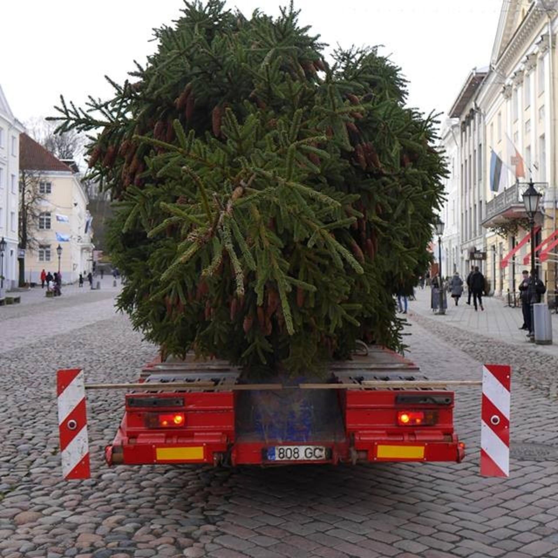 Rakvere linn otsib jõulukuuske